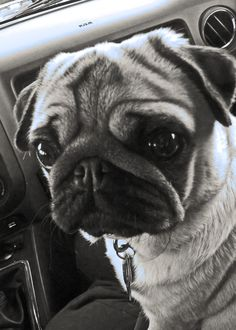 pugs always have to be in your in lap in the car