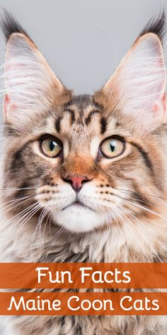 7 Fun Facts About Maine Coon Cats You May Not Know! Click the pin to learn what makes Maine Coon Cats such an interesting breed of cat to own Mancoon Cats, Cat Icon, Cat Whisperer, F2 Savannah Cat, Maine Coon Kittens, Dog Id, Cat Facts, Cat Health, Cat Breeds