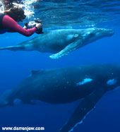 Snorkeling with humpback whales in Tonga