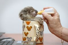 orphaned koala in a coffee cup. OH MY GOD!