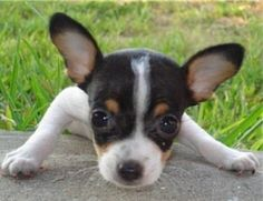 When you bring your new Rat Terrier puppy home, you think he'll stay that small and cute forever. Although he grows and changes, he remains that gorgeous little puppy in your eyes and heart. We tend to spoil that puppy and unwittingly shorten the...