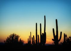 Saguaro Cacti in Arizona at sunset