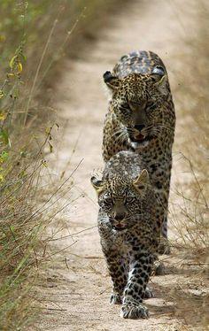 Leopard walking with cute cub