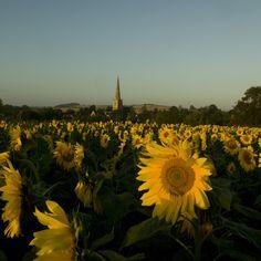 Tredington church with sunflowers