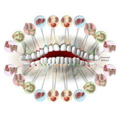 Cada+diente+está+asociada+con+los+órganos+del+cuerpo