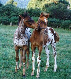 Two very cute Appaloosa foals
