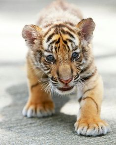 I am going to foster a baby tiger someday. :)