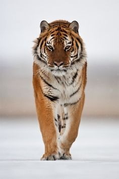 The Beauty of Wildlife. Siberian Tiger by catman-suha Save The Tiger, Tiger Love, Beautiful Cats, Animals Beautiful, Panthera Tigris Altaica, Animals And Pets, Cute Animals, Wild Animals, Exotic Animals