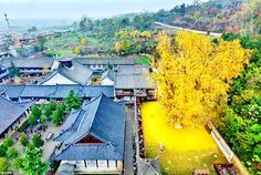 Tree of gold. Photo shows tree shedding bright yellow leaves near Buddhist temple in China. The tree sheds its leaves in autumn, leaving a sheet of yellow near the Gu Guanyin Buddhist Temple Photoshop, Ginko Tree, Dame Nature, Golden Leaves, Golden Tree, Yellow Leaves, Bright Yellow, Yellow Sea, Colored Leaves