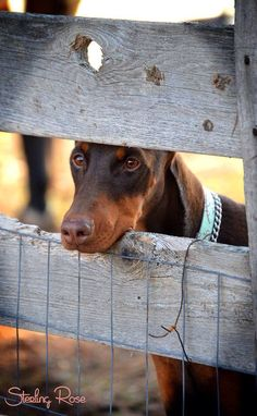 #Doberman~ they sure love to know what's going on (part of protecting and curiosity) :)