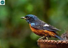 "https://www.facebook.com/WonderBirdSpecies/ Blue-capped rock thrush (male)(Monticola cinclorhynchus); Indian subcontinent; IUCN Red List of Threatened Species 3.1 : Least Concern (LC)(Loài ít quan tâm) <("") Hoét đá chỏm đầu lam (trống); Tiểu lục địa Ấn Độ; HỌ ĐỚP RUỒI CỰU THẾ GIỚI - MUSCICAPIDAE (Old World flycatchers)."
