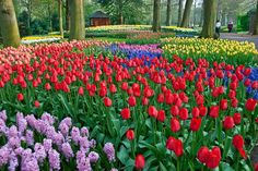"""Keukenhof Gardens Also known as the Garden of Europe, """"Keukenhof,"""" meaning """"kitchen courtyard"""" in Dutch, was named after its 15th century use as a place where people hunted and collected food for the castle of Jacoba van Beieren. Landscapers Jan David Zocher and his son Louis Paul redesigned the park in 1857, creating the basis for today's English Landscape garden style.  Keukenhof Garden is only open in spring"""