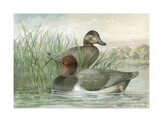 Red Headed Ducks (A. Pope Jr.)