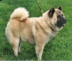 ... Chinese Lung- Kou (Chinese Dragon Dog). The Chinese Foo (A Spitz-type