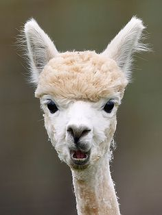 Alpacas With Post Punk Hair String Theory Grasses And Math - 22 hilarious alpaca hairstyles