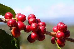 Coffee Cherries, Catuai variety located at 1550 mask at Finca Cerro Bueno in La Paz, Honduras.  www.hondurascoffeefamily.com