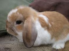 Holland lop eared bunny