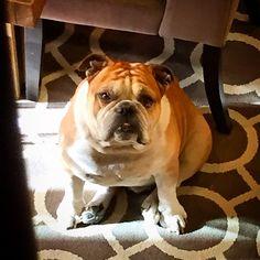 """Can you stop taking pictures of me? It's past lunch time. I'm hungry. Pls prepare my food. #maverickpose #cute #love #beautiful #bulldog #bulldogs #bullylife #bulldoglove #bulldogpuppy #englishbulldog #englishbulldogs #instagramdogs #squishyface #squishyfacecrew #dog #doglove #dogsofinstagram #igdogs #ilovemydog #ifuckinglovemydog #igbulldogs_worldwide #vegas #followme #pet #puppy #puppylove #mansbestfriend #lasvegas #unconditionallove"" Photo taken by @boozerdabulldog on Instagram, pinned…"