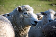 Close-Up of Sheep in Rural New Zealand Close-Up of Sheep in an agricultural field in Rural New Zealand. Agricultural Field Stock Photo Image Now, Agriculture, New Zealand, Close Up, Sheep, Stock Photos, Animals, Animales, Animaux