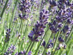 La lavande est un des remèdes naturels communs pour l'homme, elle est utilisée comme parfum pour les savons, les vêtements et les shampoings. C'est aussi un très bon agent nettoyant, mais son pouvoir ne s'arrête pas là. La lavande peut vraiment aider à traiter l'insomnie et l'anxiété. Les chercheurs reconnaissent qu'inhaler son parfum peut avoir des effets apaisants et réconfortants, notamment quand on respire l'odeur des plants de lavande.