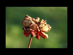 Flora Diashow #fotografie #blumen #flora #rosen #tulpen Flora, Photography Flowers, Tulips, Architecture, Plants