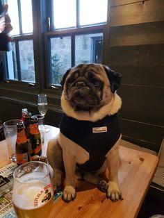 Pug in the pub Grumble Of Pugs, French Bulldog, Dogs, Animals, Animales, Animaux, French Bulldog Shedding, Pet Dogs, Bulldog Frances