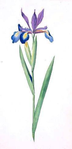 Botanical-Flower-Iris-Iris-spuria