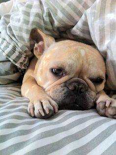 Frenchie in bed - doesn't look like he wants to get up!!