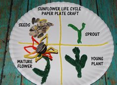 SUNFLOWER life cycle, free printable math sticks topper for sunflower seed counting, and a sunflower craft - #homeschooling #kids