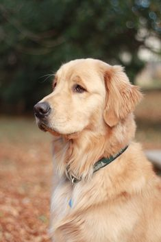 Golden Retriever. Annie May is my first Golden...I'd never get another breed.  Precious!