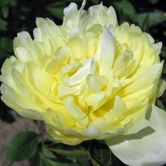 Goldmine Peony: This charming cottage flower has pedals reminiscent of bird feathers. They are a deep canary yellow near the base and fade out at the top to a beautiful, creamy butter yellow at the tips, putting anything else blooming at the same time to shame.