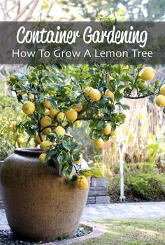How To Grow A Lemon Tree For Container Gardening