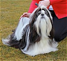 Pumilo (now that's a lot of grooming but beautiful Shih-tzu)