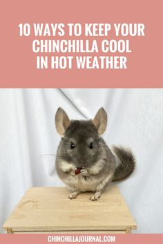 Stop your chinchilla overheating during the hotter times of the year with these 10 tips. Chinchilla Facts, Chinchilla Care, Pet Guinea Pigs, Guinea Pig Care, Dragon Horse, House Rabbit, Exotic Fish, Horse Care, Chinchillas
