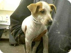 Phx, Az.     Breed:    American Pit Bull Terrier/Australian Cattle Dog Mix    Color:    Unknown    Age:    Puppy        Size:    Small 25 lbs (11 kg) or less    Sex:    Female     ID#:    5248619      I am already spayed.    A3234885's Story...       Act quickly to adopt A3234885. Pets at this shelter may be held for only a short time.