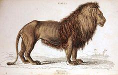 Animal - Cat - Jardine - Lion engraving