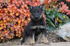 Megan, German Shepherd puppy for sale in Pequea, Pa