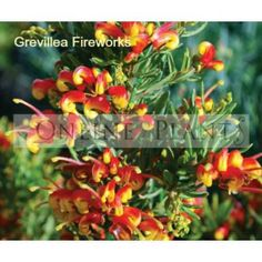 Grevillea Fireworks for Sale Australian Wildflowers, Australian Native Flowers, Australian Plants, Australian Garden Design, Australian Native Garden, Bush Garden, Garden Inspiration, Garden Ideas, Love Garden