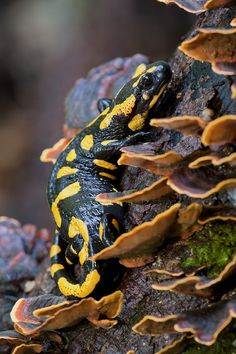 Fire salamander (Salamandra salamandra) by Lorenzo Shoubridge on 500px