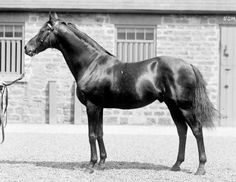 St. Simon. The pre-eminent sire entering the 20th century, St. Simon was to lead the British sire list nine times. His influence to future thoroughbreds through his sons and daughters would spread worldwide, during a time when travel was far more arduous than now. He was a sire of sires and is predominant in the pedigrees of Nearco and Ribot.