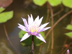 August Koch water lily