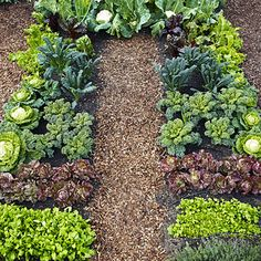 Cool greens planting plan  Overall size is 13 feet long, 8 feet across. Each bed is 3 feet wide.  Plant low growers in front and tall ones in back so all crops can get full sun.  Cover the 2-foot-wide center path and the soil around the perimeter with a 2-inch-thick layer of fine bark mulch.