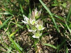 Swertia japonica せんぶり