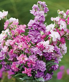 Stock 'Katz Fragrant Mix' is a fragrant, heat-loving cottage garden favorite.