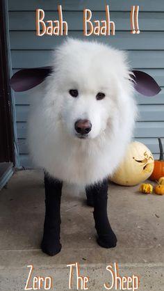 Zero the Sheep 2015 (Zero Den) Tags: dogs halloween costume samoyed sammy samoyeds vancouverdogs