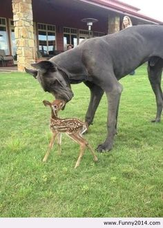 Great dane and fawn. OMG my heart melted.
