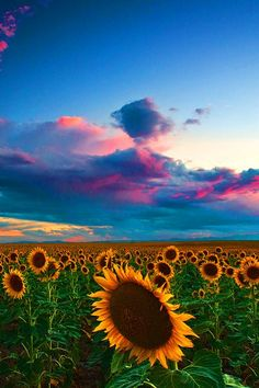 Skies Of A Summer Sunset, Sunflower fields, Colorado