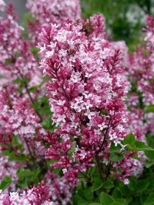Tinkerbelle Lilac: Easy to maintain, hardy, small lilac species with beautiful cool-toned pink flowers.