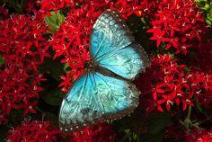 ~~ Blue Morpho Butterfly by Greg Zenitsky~~