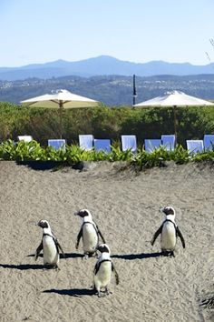 Penguins Betty's Bay in South Africa